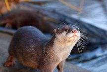 Otters.. My favorite!! / by Collette Loves teaching kindergarten!
