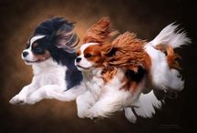Dogdom: Cavalier King Charles / One look and your heart melts. / by Edna Lötter Botha
