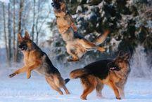 Dogdom: German Shepherd/Alsation / A wonderful companion and protector. / by Edna Lötter Botha