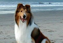 Dogdom: Rough and Smooth Collies. / My longest experience of being owned by any breed, is with these excellent, loving, intuitive animals. / by Edna Lötter Botha