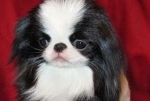 Dogdom:  Japanese Chin. / Wise eyes and lots of fun. / by Edna Lötter Botha