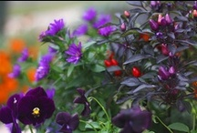 The Colour Purple / Amaranthine, amethyst, blue-violet, bluish red, heliotrope, lavender, lilac, magenta, mauve, mulberry, orchid, periwinkle, perse, plum, pomegranate, reddish blue, violaceous, violet, wine  / by Periain B