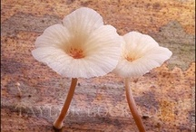 """Fabulous Fungi and Shroom Art / """"I am... a mushroom; On whom the dew of heaven drops now and then.""""    John Ford / by Periain B"""