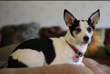 Adorable Dogs / Boston Terriers and other cute dogs doing cute things.