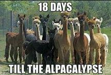 Alpacas.  No, you don't ride them. / No, really.  You don't ride alpacas.