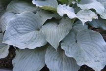 The Hosta Group / I have created this board for all the hosta-holics!  Let's make it fun, and add comments about the hostas you grow.  I am a member of the MTHS and the AHS.  Invite all your friends by going to ( Edit Board --> add another pinner)