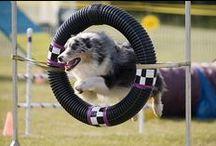 Agility/Dog Sports / by Ashley Baxa Haley