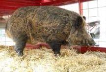 WPS / Arkansas Razorbacks!  Hogs! / by Becki Swindell