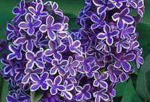 Lilacs, love of my life