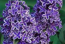 Lilacs, love of my life / by Mariann Lifwergren