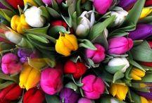 Tulip Bliss / Brings Joy & Love into my life