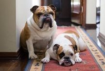 Puppy Love / I got a fever. And the only prescription is more bulldogs.