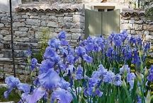 Beautiful Iris - Art and Photos