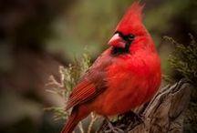 Backyard Birds - Cardinals and Chickadees - Photos & Art