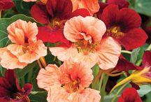 Garden Annuals