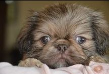 Pekingese  <3  / I have a love for these fluffy, flat faced babies!