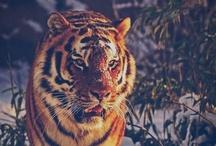 Eye of an tiger
