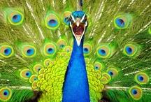 Peacock Rocks ﹀
