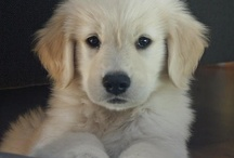 Goldens / by Beth DiMeo