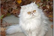 Persian Cats / Persian Cats that have been Cat of the Day! Persians featured on CatoftheDay.com! Some are cats, some kittens, some are rescues, all are loved kitties! / by Cat of the Day