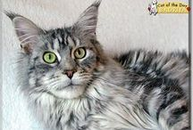 Maine Coon Cats / Maine Coon Cats that have been Cat of the Day! Maine Coons featured on CatoftheDay.com! Some are kittens, some are cats, some are rescues, all are loved kitties! / by Cat of the Day