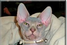 "Sphynx Cats / Sphynx Cats that have been Cat of the Day! Sphynx cats - that some people call ""hairless"" - featured on CatoftheDay.com! Some are kittens, some are cats, some are rescues, all are loved kitties! / by Cat of the Day"