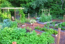 moestuin / vegetable garden