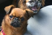 Bogey and Turtle / Two cute Brussels Griffons.