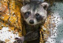 Raccoons / by Diane Pelley