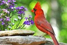 Cardinals / by Carol M