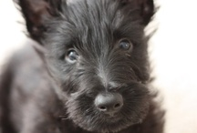 Scottish Terriers not quite as cute as Jack