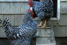 Cluck Cluck Cluck / Chicken Board