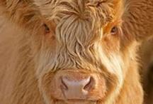 scottish highland cows / by Staci Grauman