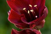 Red/Burgundy Flowers