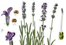 Lavande vraie / Lavander / Lavender / Lavandula Angustifolia. Huile essentielle, hydrolat, aroma.
