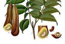 Baume du Pérou / Balsam of Peru / Myroxylon Balsamum. Huile essentielle, hydrolat, aromathérapie