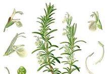 Romarin cinéole / Rosemary cineole / Rosmarinus Officinalis CT cineole. Huile essentielle, hydrolat.