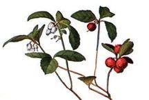 Gaulthérie couchée ou odorante / Wintergreen / Gaultheria procumbens / Gaultheria fragrantissima