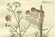Ajowan / Trachyspermum ammi / Carum copticum / Ajwain / Carom. Huile essentielle et aromathérapie. / Monoterpenes (Paracymene, Terpinene), Phenols (carvacrol, thymol)...