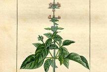 Basilic Tropical ou Exotique / Basil / Ocimum basilicum ssp basilicum. Huile essentielle, hydrolat.
