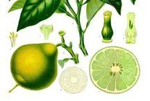Bergamote / Bergamot / Citrus bergamia. Huile essentielle, hydrolat, aromathérapie.