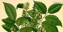 Baume de Tolu / Tolu Balsam / Myroxylon balsamum. Huile essentielle, hydrolat, aromathérapie.