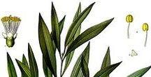 Cajeputier / Cajuput / Melaleuca cajeputii. Huile essentielle, hydrolat, aromathérapie.