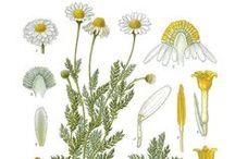 Camomille noble ou romaine / Roman chamomile / Chamaemelum nobile / Anthemis nobilis. Aromathérapie.