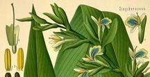 Cardamome / Cardamom / Elettaria cardamomum. Huile essentielle, hydrolat, aromathérapie