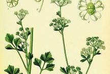 Céleri cultivé / Celery seed / Apium graveolens. Huile essentielle, hydrolat, aromathérapie