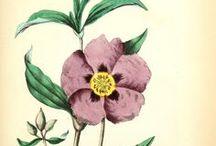 Ciste ladanifère / Rockrose / Cistus ladaniferus. Huile essentielle, hydrolat, aromathérapie.