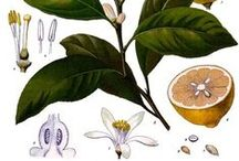Citron / Lemon / Citrus limonum. Huile essentielle, hydrolat, aromathérapie.