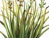 Citronnelle de Java / Citronella / Cymbopogon winterianus. Huile essentielle, hydrolat.