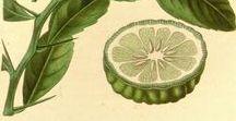 Combava / Combawa / Citrus hystrix. Huile essentielle, hydrolat, aromathérapie